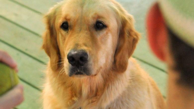 ההבדל בין כלב הטיפולי לעומת כלב ביתי